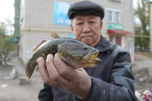 рыбы ратан фото