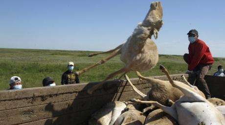 В 2011 году от пастереллеза в ЗКО погибло более 400 сайгаков, а годом раннее здесь был зафиксирован падеж около 12 тыс. голов сайги