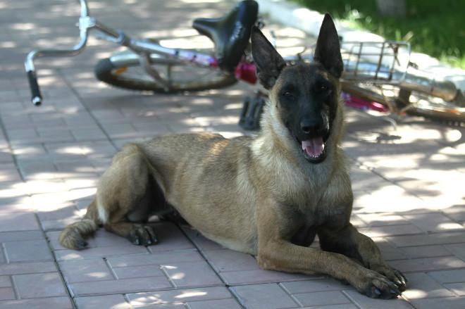 Такая порода собак задействована на службе в Америке и Европе