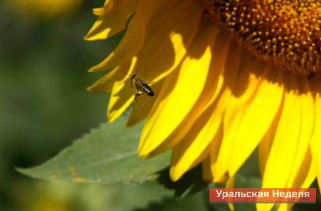 В Уральске практически ни у кого нет племенных пчел, все они беспородные. Михаил Яманов утверждает, что чистопородные пчелы бывают только в питомниках.
