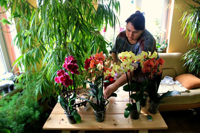 Несмотря на огромное количество орхидей в доме, сама Наталья признаётся, что разводить эти цветы очень сложно. - Почковать орхидею возможно только когда цветок уже достаточно старый, то есть на четвертый или пятый год.
