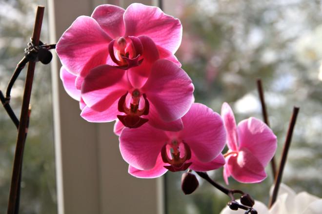 Свою любовь к этому цветку женщина объясняет не только его красотой и большим разнообразием красок, но  и абсолютной неприхотливостью.