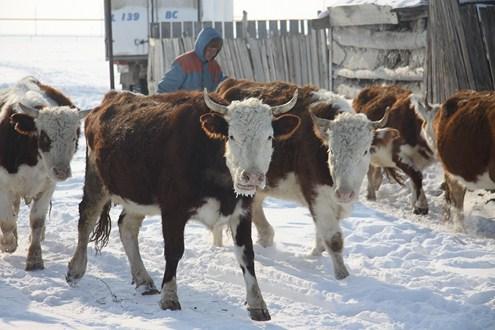кража скота в зко