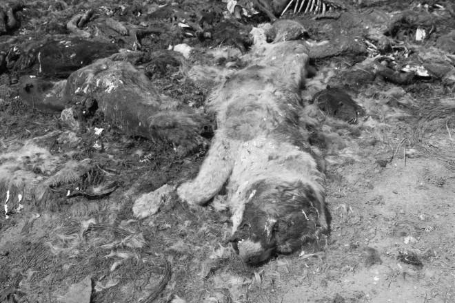 Среди мертвых собак мы увидели останки породистых псов. На этом фото предположительно сенбернар.